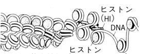 クロマチン構造.jpg