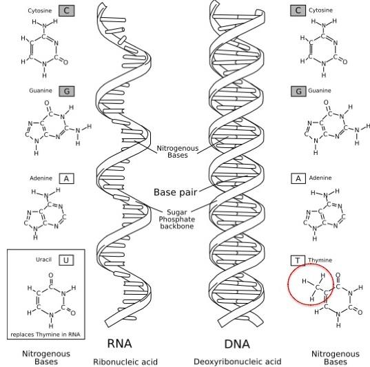 核酸の塩基.jpg