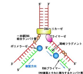 DNAの複製.jpg