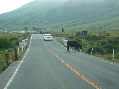 阿蘇 道路の牛
